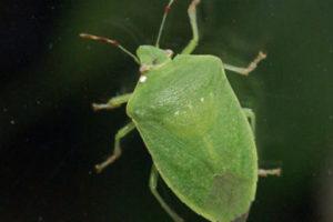 Plaga de chinche verde (hiede vivo) afecta Montecristi y Dajabón, dice Obras Públicas